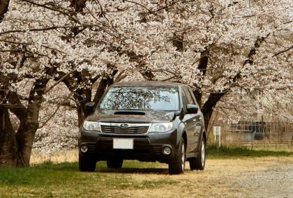 Sakura2013_fore