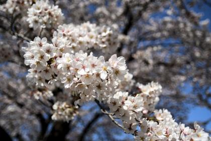 Sakura2019_05
